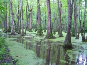 cypress-swamp-Vidalia-ms